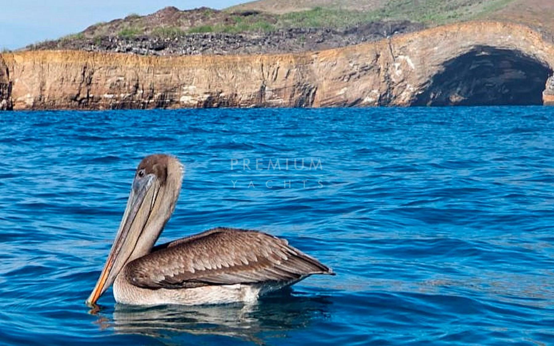Pelicans in Punta Vincenete Roca