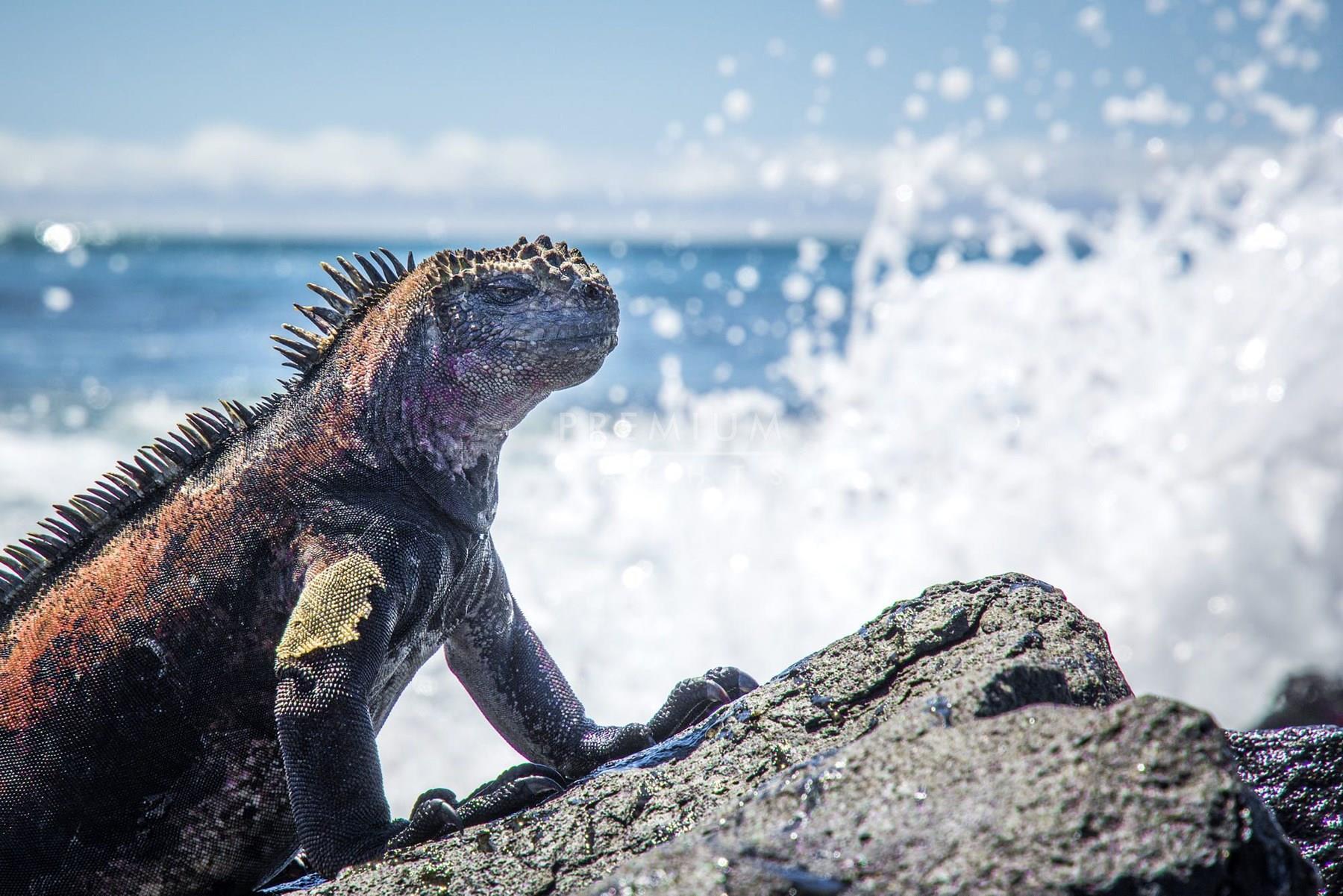 Iguanas in Isabela island