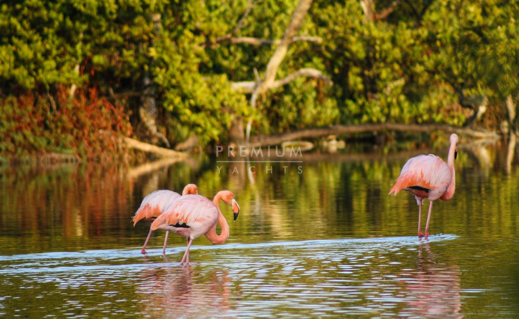 Flamingos in Punta Cormorant